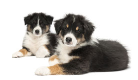 Two Australian Shepherd puppies, 2 months old Royalty Free Stock Photo
