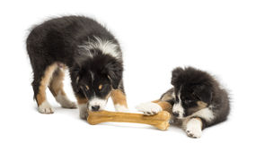 Two Australian Shepherd puppies, 2 months old Royalty Free Stock Image