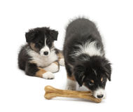 Two Australian Shepherd puppies, 2 months old Royalty Free Stock Images