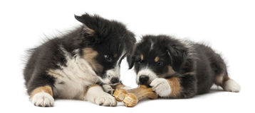 Two Australian Shepherd puppies, 2 months old Stock Photo