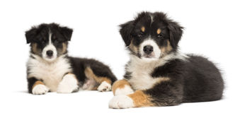 Two Australian Shepherd puppies, 2 months old Stock Photography
