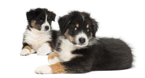 Two Australian Shepherd puppies, 2 months old Stock Photos