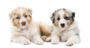 Two Australian Shepherd puppies, 6 weeks old Royalty Free Stock Images