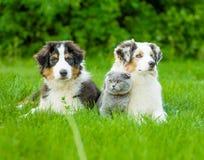 Two Australian shepherd puppies and scottish cat lying on green Stock Photo