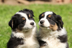 Two australian shepherd puppies together Royalty Free Stock Image
