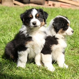 Two australian shepherd puppies together Royalty Free Stock Photo