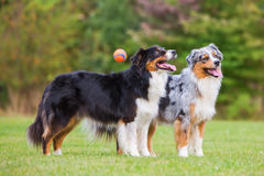 Two Australian Shepherd standing together while a ball flying past. Two Australian Shepherd dogs standing together outdoors while a ball flying past stock image