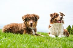 Two Australian shepherds are lying on the grass royalty free stock photos