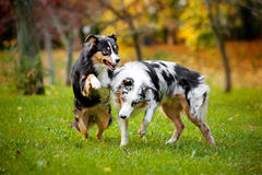 Two Australian Shepherds play together Stock Images