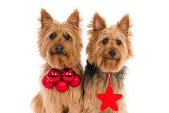Two Australian Terriers with red Christmas attributes Royalty Free Stock Photo