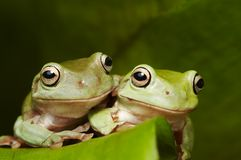 Two Australian tree frogs Royalty Free Stock Images