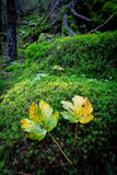 Two autum leafs on green moss Stock Photography