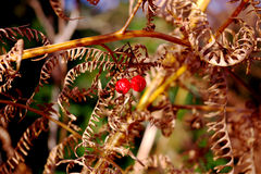 two autumn berries Royalty Free Stock Image