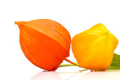 Two autumn blooming bright Physalis Royalty Free Stock Photos