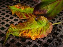 Two autumn colorful  leafs on the wet  background Stock Images