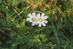 Two autumn flower on a white background of green grass. Two autumn flower on a white background of green grass Stock Photo