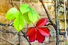 Two autumn grape leaves on the wall of a building Stock Images