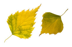 Two autumn leaves Stock Images
