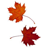 Two Autumn Leaves. Two brown autumn leaves against a white background Royalty Free Stock Photography