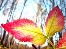 Two Autumn Leaves, Beauty in Autumn Stock Images