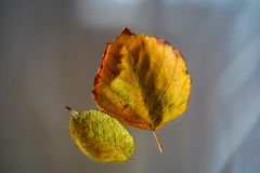 Two Autumn Leaves On Blurred Background royalty free stock photo