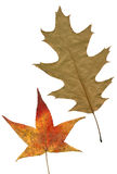 Two autumn leaves. Stock Photography
