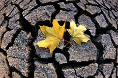 Two autumn leaves lie on the dry Stock Photos