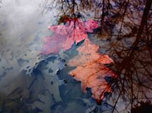 Two autumn leaves Stock Photo