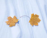 Two autumn leaves Stock Image