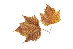 Two autumn leaves. On white background Stock Images