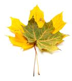 Two autumn maple-leaf Royalty Free Stock Photos