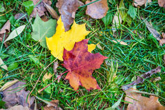 Two autumn maple leaves on the grass Royalty Free Stock Photo