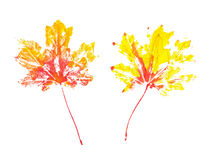 Two autumn maple leaves imprint watercolor Stock Photos