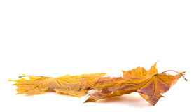 Two autumn maple leaves Stock Images