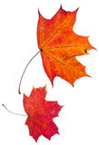 Two autumn red maple leaves Royalty Free Stock Photography