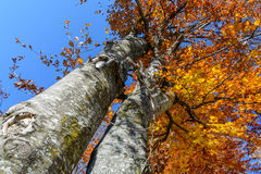 Two autumn trees trunks in a mountain forest. Autumnal scene Royalty Free Stock Images