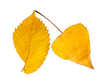 Two autumnal leaves. Two autumnal yellow leaves on white background Royalty Free Stock Photography