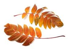 Two autumnal rowan leafs Stock Photography