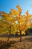 Two autumnal trees Stock Photos