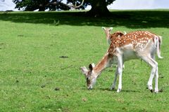 Two Axis Deer chital grazing in a meadow stock photo