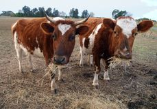 Two Ayrshire Cows Eating Hay stock images