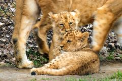 Two babies lion in move. Photo two babies lion in move in nature Stock Photography