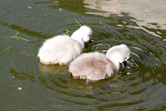 Two babies swans looking for their food in the water Stock Photography