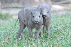 Two babirusa piglets Stock Images