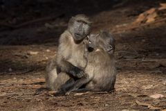 Two baboon friends. Two immature chacma baboon friends in forest, Cape Town Royalty Free Stock Photography
