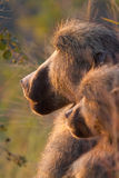Two baboons Stock Photography