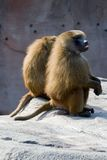 Two baboons. Two shaggy African baboons sitting together in friendship on rock Royalty Free Stock Photo