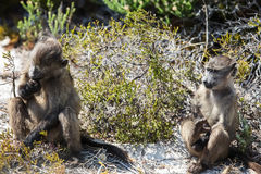 Two baboons Stock Photos