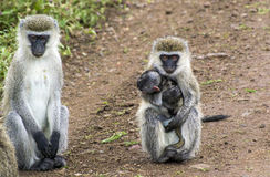 Two baboons with a baby on the way Stock Photo
