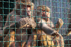 Two baboons in the cage Stock Photos